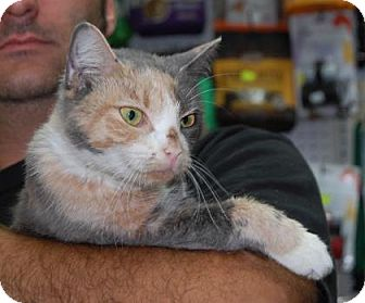 Domestic Shorthair Cat for adoption in Brooklyn, New York - Kat