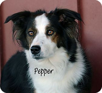 Australian Shepherd Mix Dog for adoption in Idaho Falls, Idaho - Pepper