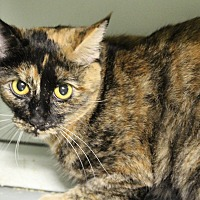 Domestic Shorthair Cat for adoption in Mission, British Columbia - Zanda