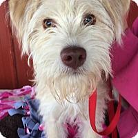 Adopt A Pet :: Sunny - Kansas city, MO