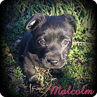 Adopt A Pet :: Malcolm - Denver, NC