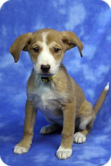 Welsh Corgi/Dachshund Mix Puppy for adoption in Westminster, Colorado - CARINA