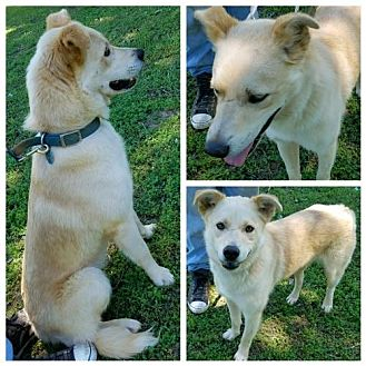 Husky/Labrador Retriever Mix Dog for adoption in Decatur, Alabama - Cody