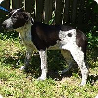 Adopt A Pet :: Poncho - Bedminster, NJ