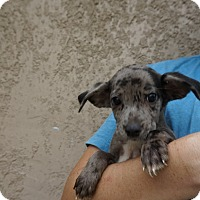Adopt A Pet :: Dapple - Oviedo, FL