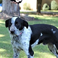 Adopt A Pet :: BLUE RIVER-FOSTER NEEDED - Franklin, TN