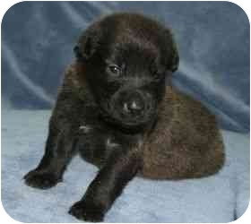 Labrador Retriever Mix Puppy for adoption in San Diego, California - APRIL'S PUPPY - PICASSO