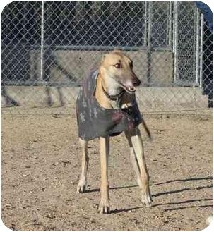 Greyhound Dog for adoption in Tucson, Arizona - Lily