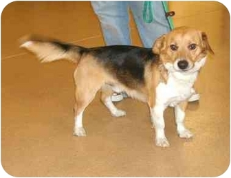 Corgi/Terrier (Unknown Type, Small) Mix Dog for adoption in Toronto/Etobicoke/GTA, Ontario - HarrisonPENDING