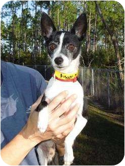 Chihuahua/Rat Terrier Mix Dog for adoption in Brooksville, Florida - HOWIE-Adopted!!