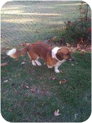 Basset Hound/Collie Mix Dog for adoption in Hopkinsville, Kentucky - Shiloh