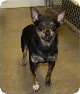 Chihuahua Mix Dog for adoption in Kalamazoo, Michigan - Sebastian