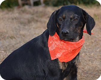 Coonhound/Labrador Retriever Mix Dog for adoption in Hagerstown, Maryland - Sadie