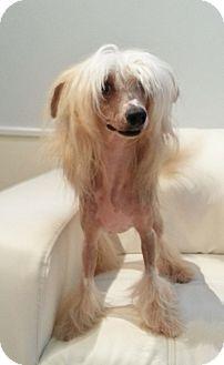 Chinese Crested Mix Dog for adoption in Bridgeton, Missouri - Winston