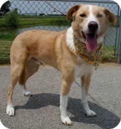 Labrador Retriever Mix Dog for adoption in Franklin, Indiana - BLUE