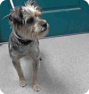 Silky Terrier/Yorkie, Yorkshire Terrier Mix Dog for adoption in Los Angeles, California - Amazing Anderson