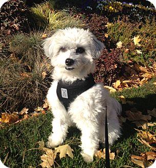 Miniature Poodle Mix Dog for adoption in North Bend, Washington - Oliver