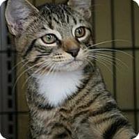 Adopt A Pet :: AngelCat - Frederick, MD