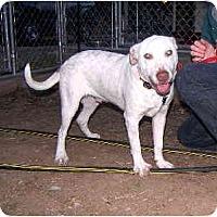 Adopt A Pet :: Chance - Scottsdale, AZ