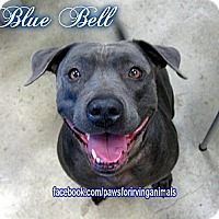 Adopt A Pet :: Bluebell - Irving, TX