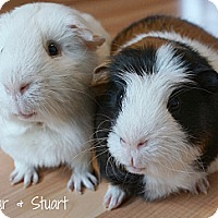 Adopt A Pet :: Sugar & Stuart - Brooklyn Park, MN