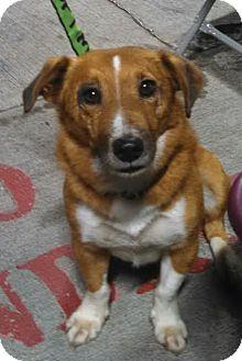 Corgi Mix Dog for adoption in Wappingers, New York - Kota