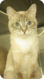 Siamese Cat for adoption in Witter, Arkansas - Gidget (lynx-point Siamese)