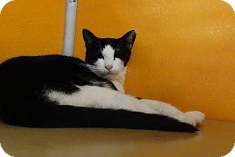 Domestic Shorthair Cat for adoption in Elyria, Ohio - Ferb