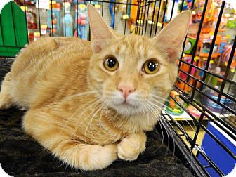 Domestic Shorthair Cat for adoption in The Colony, Texas - Herman