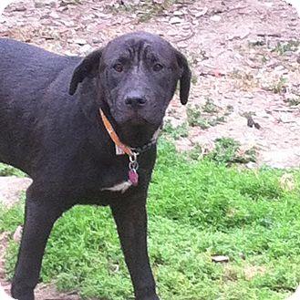Labrador Retriever/Shar Pei Mix Dog for adoption in Westminster, California - Crowley