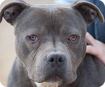 Pit Bull Terrier Dog for adoption in Cedar Crest, New Mexico - Elliot