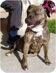 American Pit Bull Terrier Mix Dog for adoption in Berkeley, California - Autumn