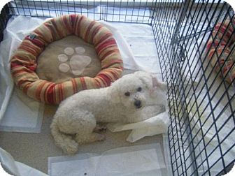 Poodle (Miniature) Dog for adoption in Fullerton, California - Tommy Tango
