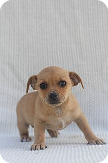 Pug/Chihuahua Mix Puppy for adoption in Auburn, California - Crystal