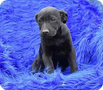 Labrador Retriever Mix Puppy for adoption in Groton, Massachusetts - Leda
