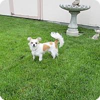 Adopt A Pet :: Princess Ann - Shawnee Mission, KS