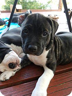 American Bulldog/Great Dane Mix Puppy for adoption in Dallas, Texas - Triumph
