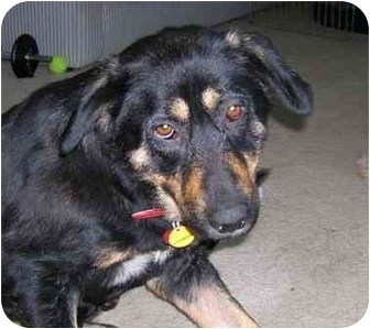 Shepherd (Unknown Type) Mix Dog for adoption in Sacramento, California - Macy!
