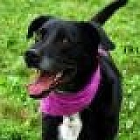 Labrador Retriever Mix Dog for adoption in Columbia, Tennessee - Truman