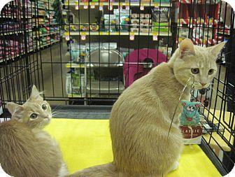 Domestic Shorthair Kitten for adoption in Overland Park, Kansas - Peanut