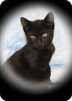 Domestic Shorthair Kitten for adoption in Bradenton, Florida - Hammy