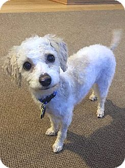 Poodle (Toy or Tea Cup) Dog for adoption in Philadelphia, Pennsylvania - JOHNNY SCUFFLES!