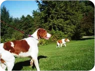 Brittany Dog for adoption in Altoona, Pennsylvania - Jerrel-PENDING
