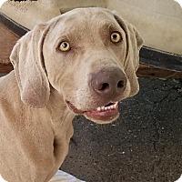 Adopt A Pet :: RAIDER - Gustine, CA