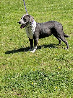 Pit Bull Terrier/Collie Mix Dog for adoption in Covington, Tennessee - Sam