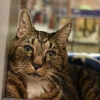 Adopt A Pet :: Kadabra *Hyperthyroid* - Lewiston, ME