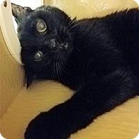 Domestic Shorthair Cat for adoption in Fairfax Station, Virginia - Jasper II