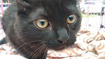 Domestic Longhair Kitten for adoption in Woodland, California - Vetra