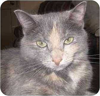 Domestic Mediumhair Cat for adoption in Raleigh, North Carolina - Lila