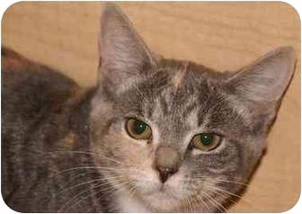 Calico Kitten for adoption in Englewood, Florida - Thelma
